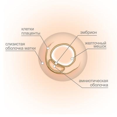 эмбрион на 3й неделе беременности